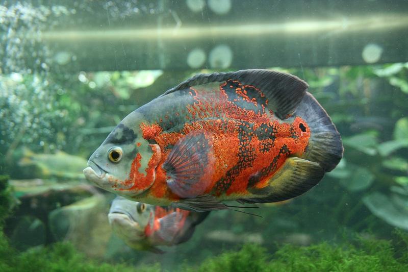 aquarium d'Amnéville Oscar