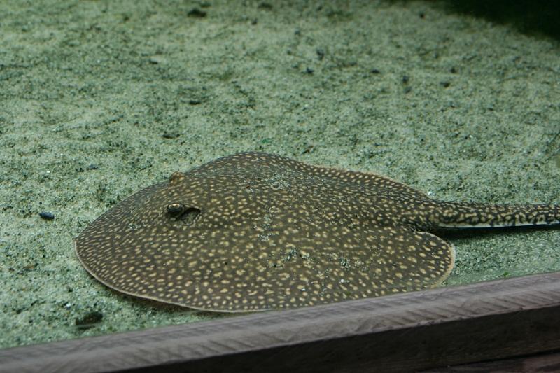 aquarium d'Amnéville Raie