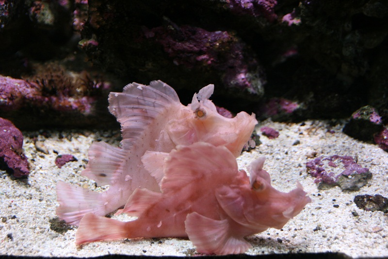 aquarium d'Amnéville Rascasse